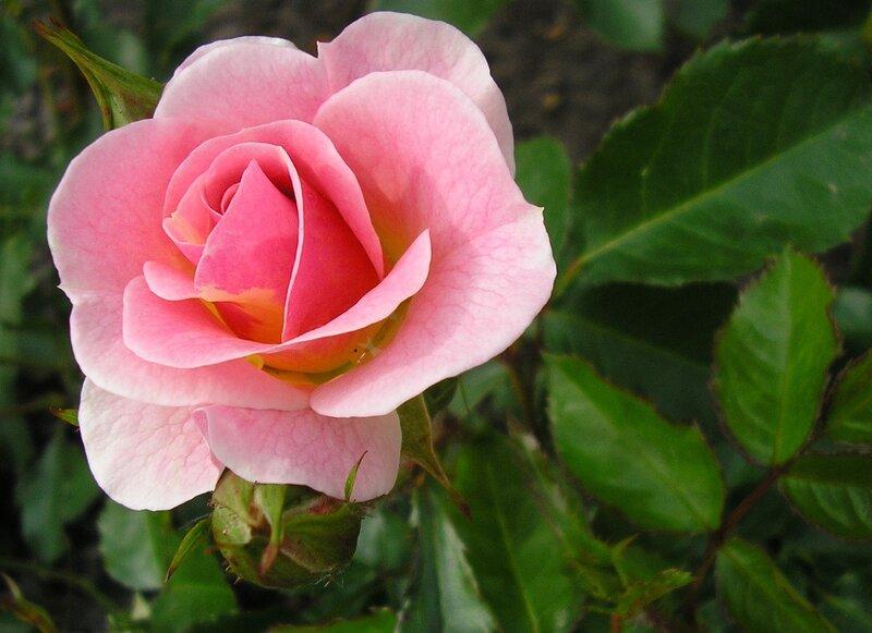 Трепет розы