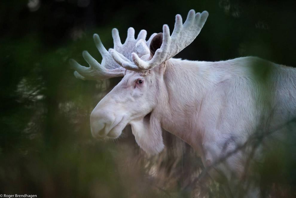 Животный мир Скандинавии