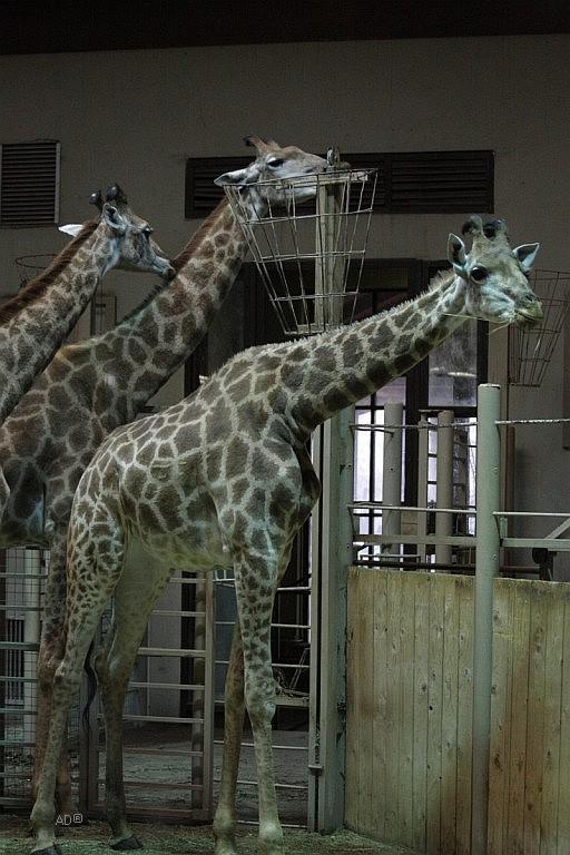 Жирафы и зебры 2009