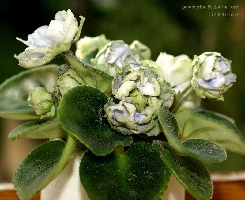 Reflections of Spring (LLG/P. Sorano) – сенполия «Отражение весны» (Сорано)