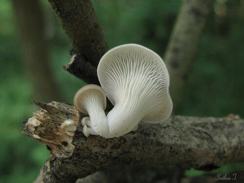 Вешенка легочная (Pleurotus pulmonarius) Автор фото: Татьяна Светлова