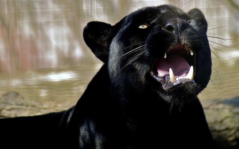Черный всегда в тренде - красивые фотографии пантер