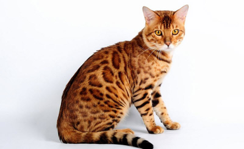 Самых дорогих котов пост