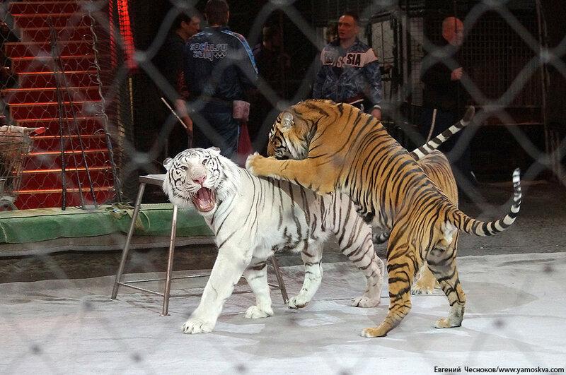 Весна. Назарова. тигры. 29.03.16.14..jpg