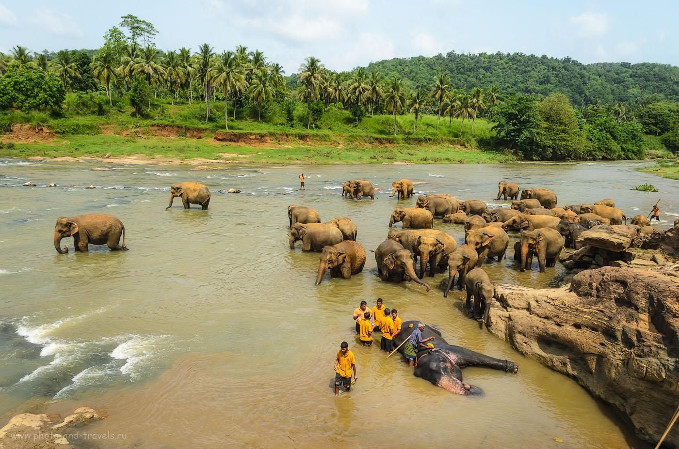Фото 9. Деревня Пиннавела. Купание слонов в реке в приюте для слонов Pinnawala Elephant Orphanage. Отзывы туристов об отдыхе на Шри-Ланке.
