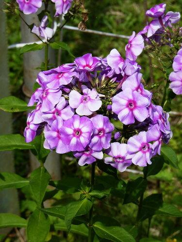 Под окном – сиреневые флоксы .... Мамины любимые цветы...