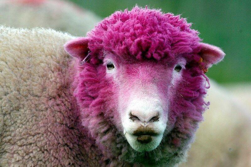Овца смешные картинки, днем рождения