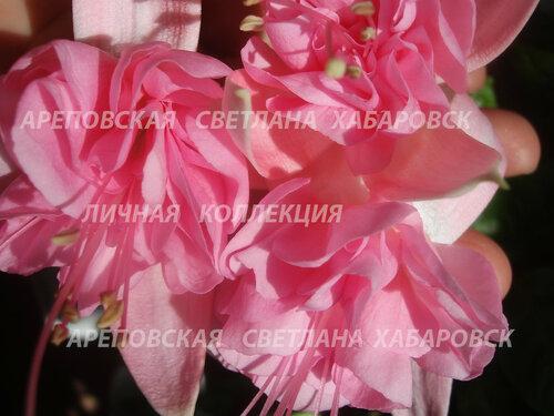 НОВИНКИ ФУКСИЙ. - Страница 5 0_153457_e9fd8edf_L