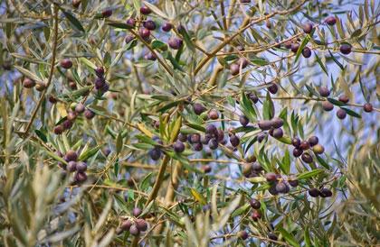 легенды о маслине