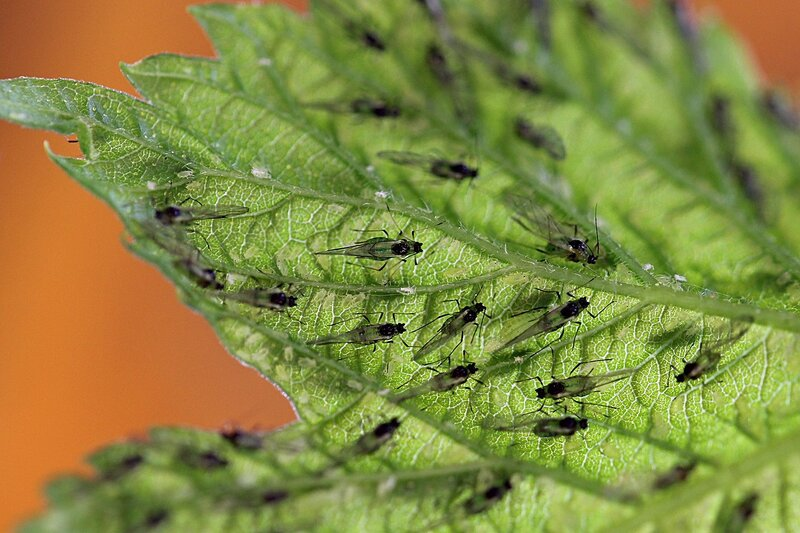 Огромное количество крылатой тли на листе хмеля