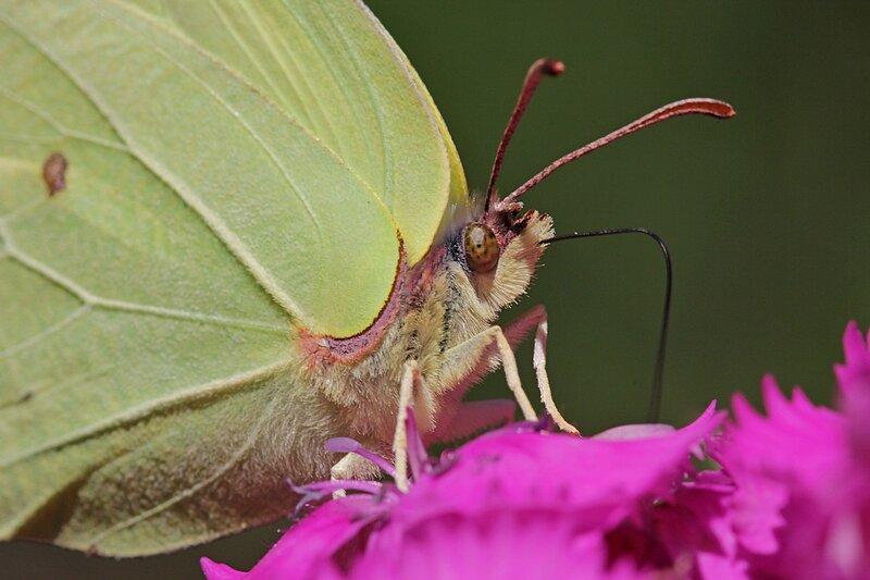 бабочка-крушинница (лимонница обыкновенная,  Gonepteryx rhamni) с жёлтыми крыльями пьёт нектар из цветка гвоздики при помощи длинного гибкого хоботка