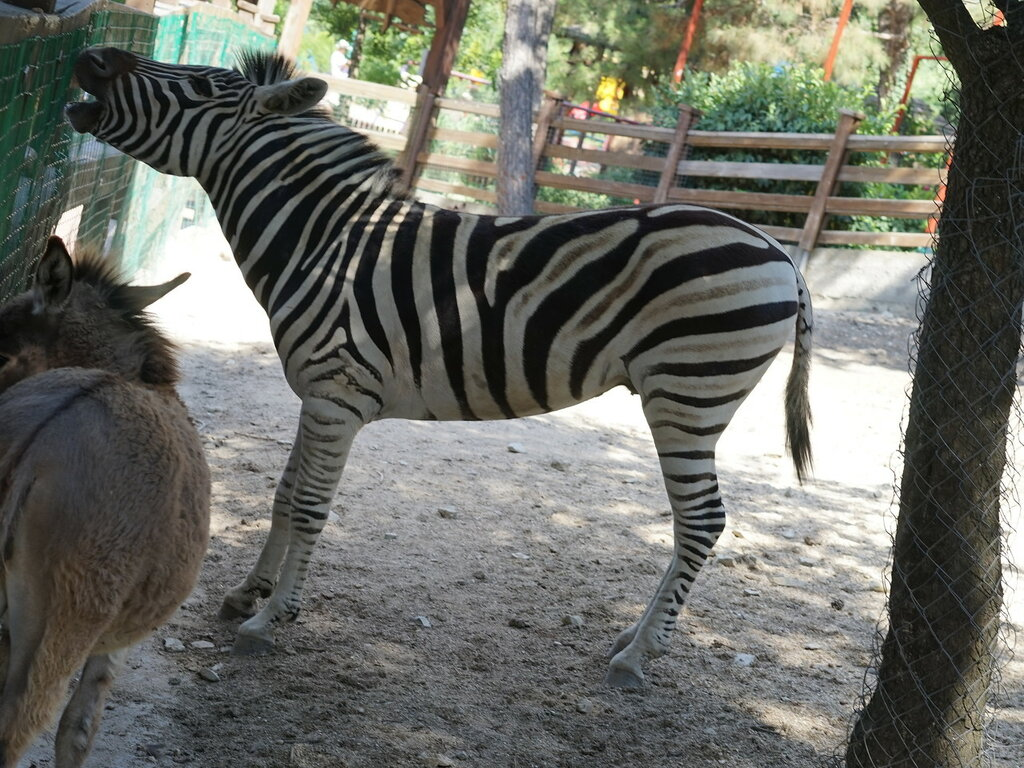 Зебра в зоопарке. Сафари-парк, Геленджик.