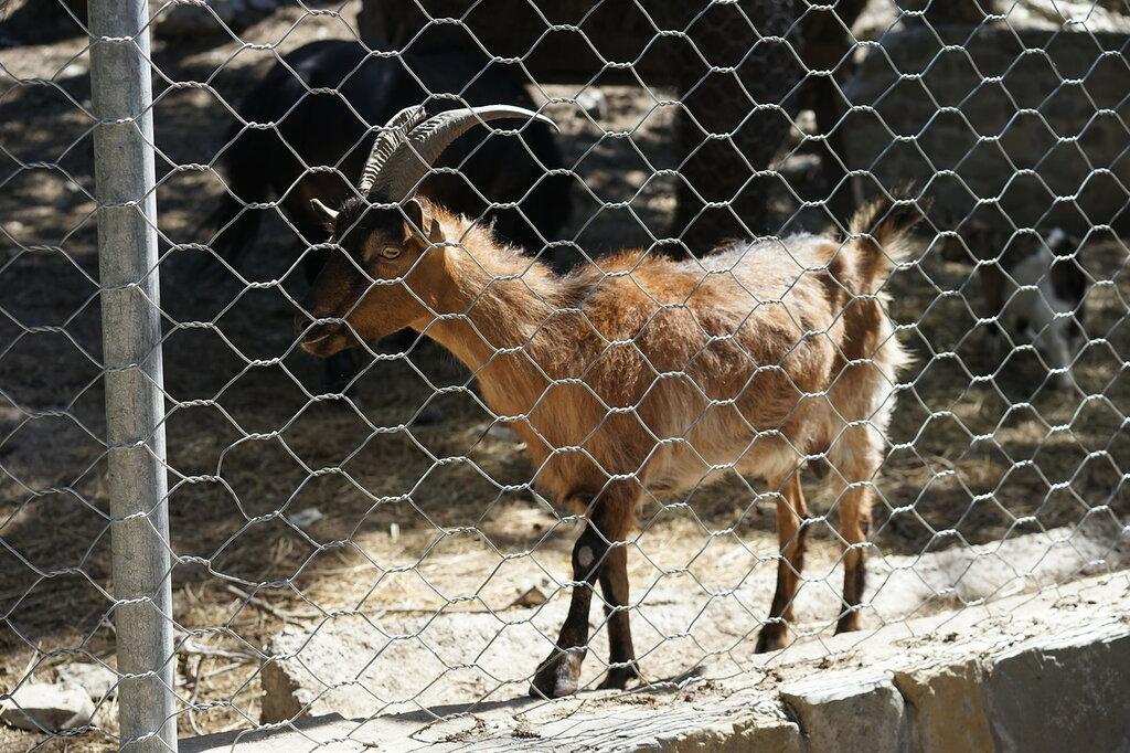 Козёл в зоопарке. Сафари-парк, Геленджик.
