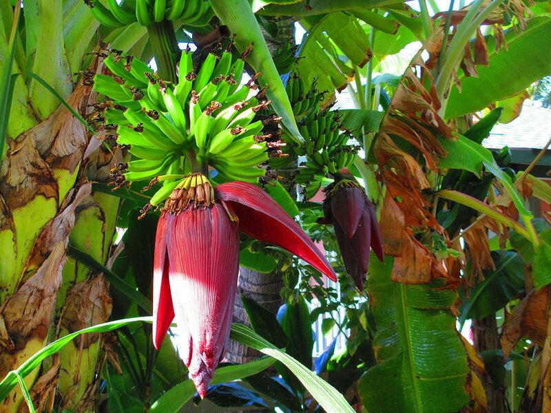 Бананы и цветы, Элейн Гайкенсон