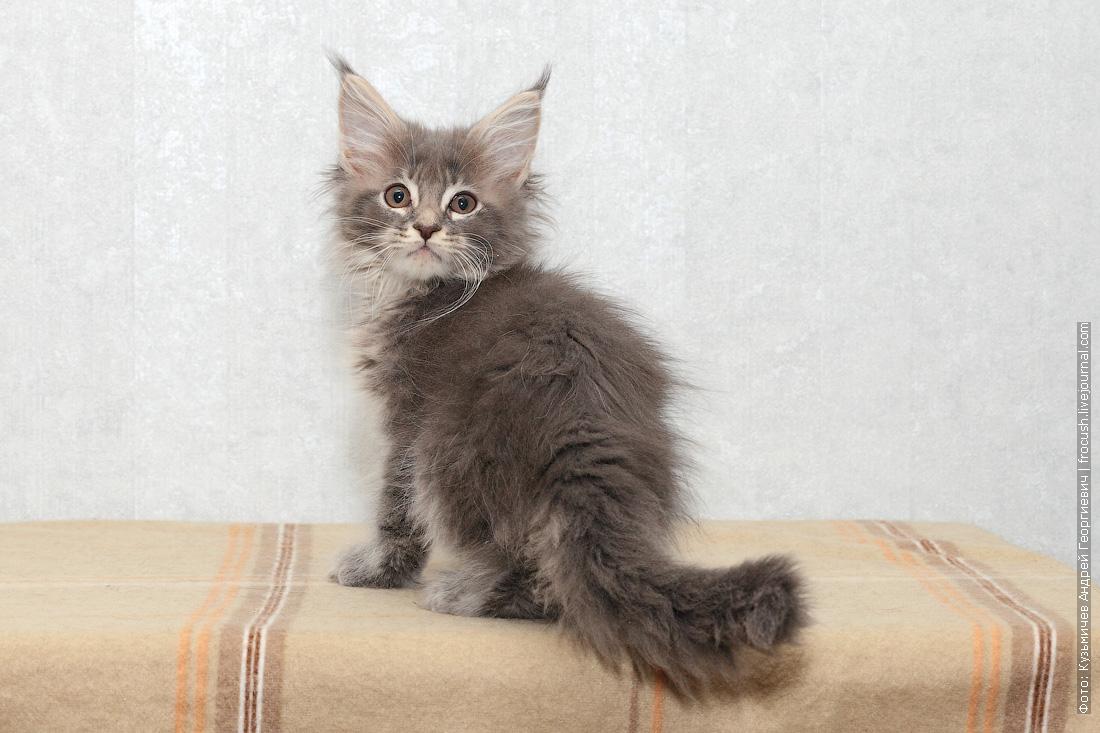 цена котенок мейн-кун в Москве