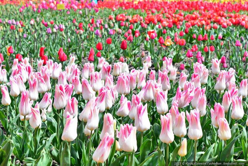 фото тюльпаны краснодар свитера сложное занятие