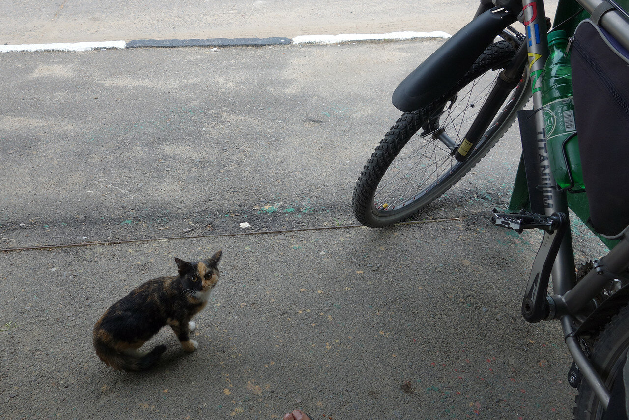 трехцветная котенка