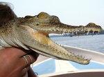 Ручной крокодил!