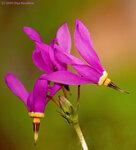 Додекатеон, дряквенник (Dodecatheon), семейство Первоцветные (Primulaceae)