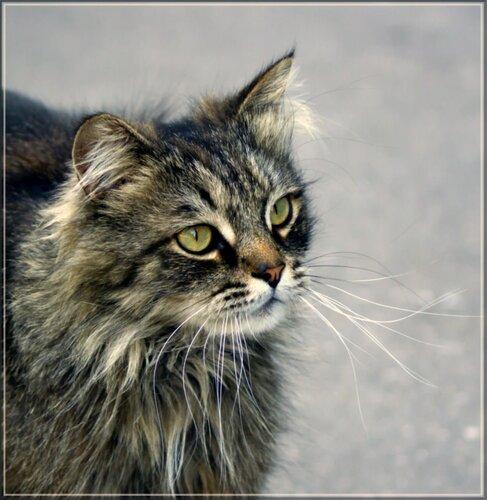 vega5715 — «Портрет незнакомого кота...» на Яндекс.Фотках