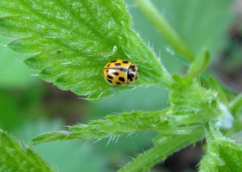 Коровка четырнадцатиточечная (Propylea quatuordecimpunctata). Автор фото: Олег Селиверстов