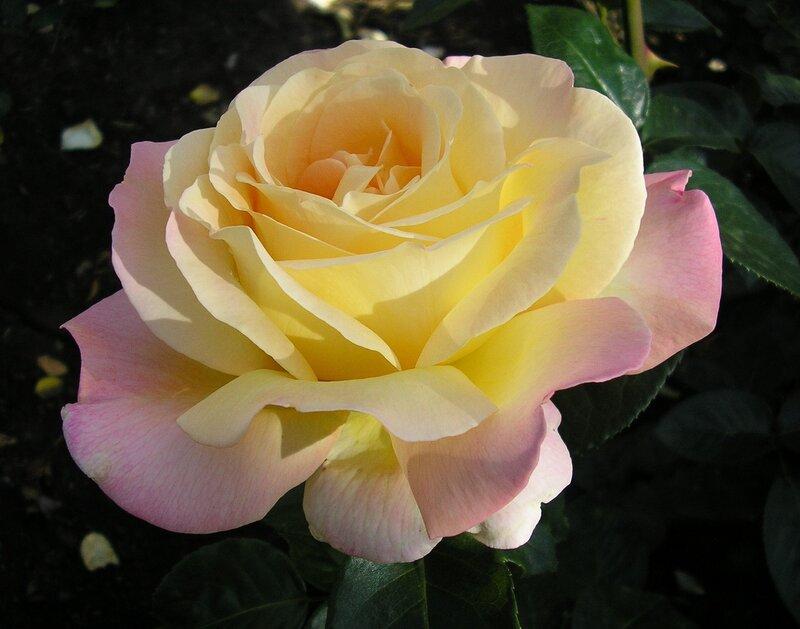 Свет розы
