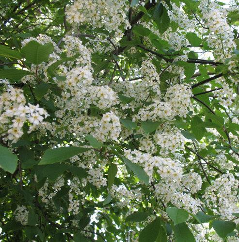 белой акации цвет по весне