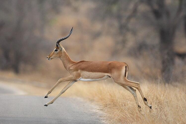 Картинка золотой антилопы