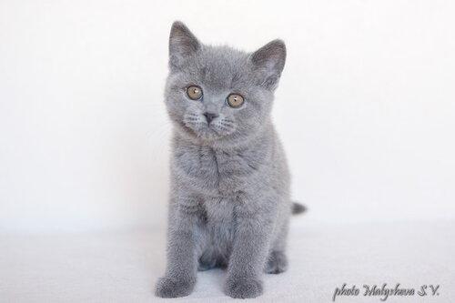 Belten`s Devonna (кошка) BRIa 2 месяца