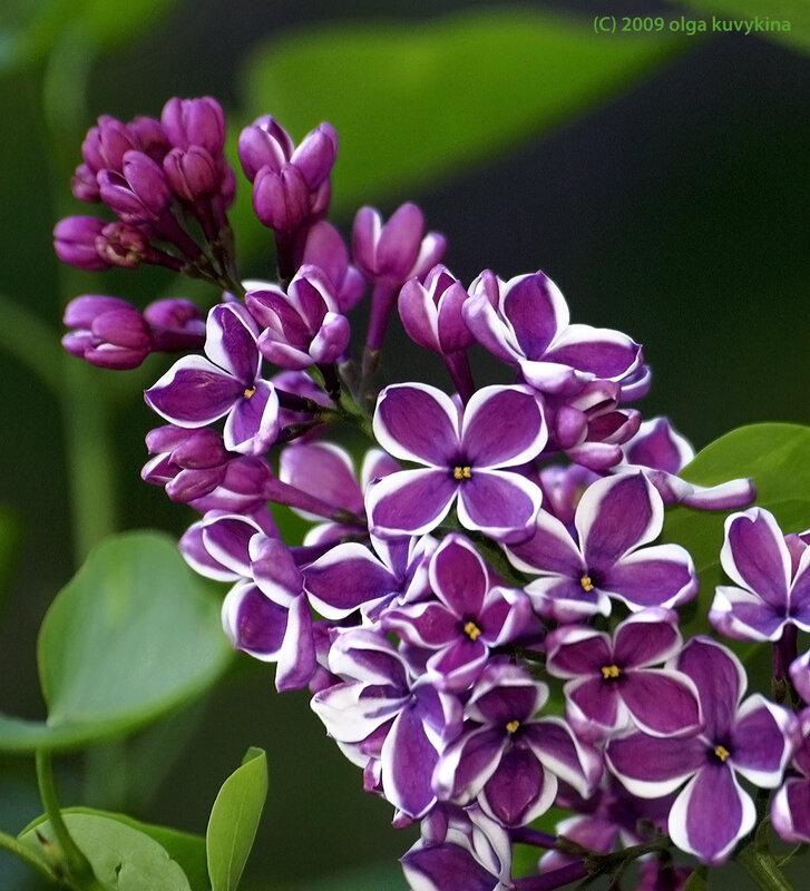 Сирень обыкновенная сорта «Сенсация» - Syringa vulgaris 'Sensation', семейство Маслинные (Oleaceae)