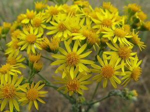 Крестовник Якова (Senecio jacobaea)Альбом: цветы и другоеКрестовник луговой