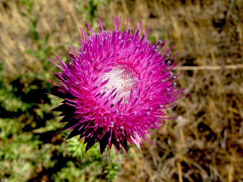 Чертополох Тёрмера (Carduus thoermeri)Альбом: цветы и другое