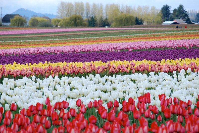 Кто сажал голландские тюльпаны 938