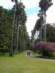 Дорога корабельных пальм в Королевском Ботаническом саду самая большая и одна из самых эффектных в Азии.