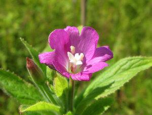 Кипрей волосистый (Epilobium hirsutum)Альбом: цветы и другое Синоним: Кипрей мохнатый