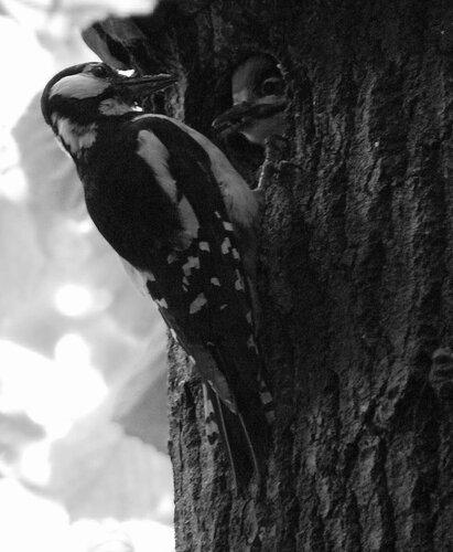 Большие пёстрые дятлы (самка кормит птенца)