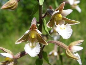 Дремлик болотный (Epipactis palustris)Альбом: цветы и другое