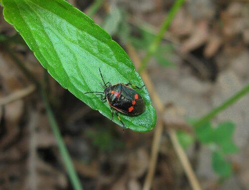 Клоп рапсовый (Eurydema oleracea) Автор фото: Олег Селиверстов
