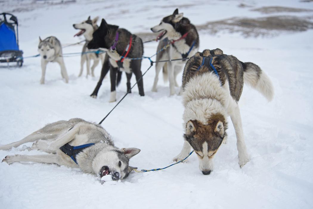Картинки упряжки для собак