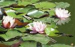 Лилии в фонтане