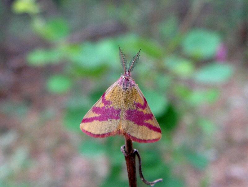 Пяденица пурпурная (Lythria cruentaria). Автор фото: Олег Селиверстов
