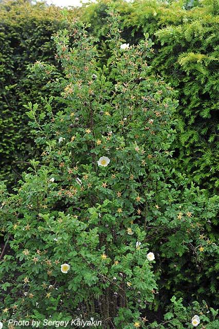 Rosa spinosissima (1).JPG