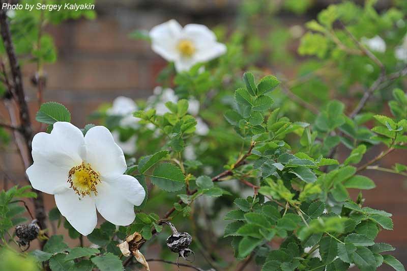 Rosa spinosossima Grandiflora.JPG