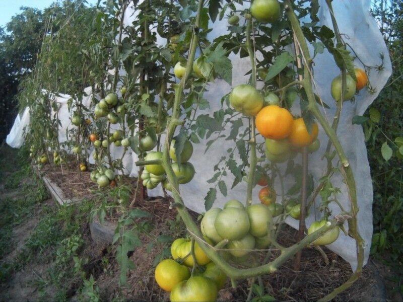 Уход за не пасынкованными помидорами