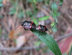 Клоп рапсовый (Eurydema oleracea)