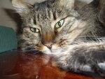 Домашняя кошка)