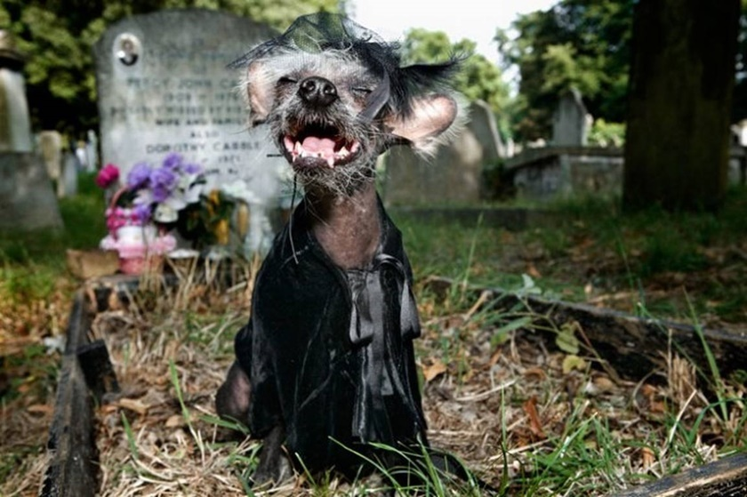 Проект «Чини». Фотографии китайской хохлатой собачки 0 141aae c74a5dcf orig
