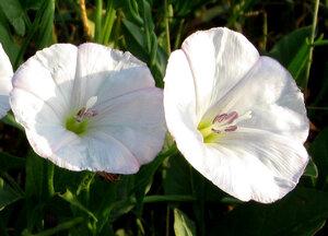 Вьюнок узколистный (Convolvulus lineatus)Альбом: цветы и другое Синоним: Вьюнок линейчатый