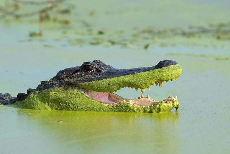 крокодил Геннадий