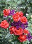 розы+клематис  _Clematis i Rose